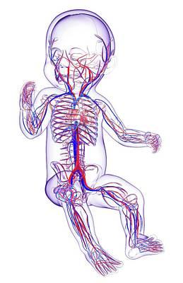 Internal Organs Photograph - Baby's Cardiovascular System by Pixologicstudio