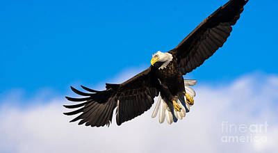Photograph - Bald Eagle by Ursula Lawrence