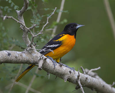 Photograph - Baltimore Oriole by Doug Lloyd