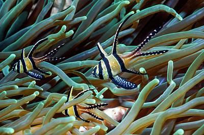 3 Fish Photograph - Banggai Cardinalfish by Georgette Douwma