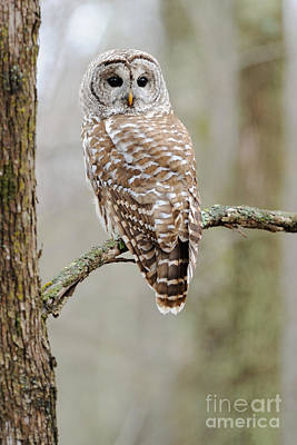 Barred Owl Photograph - Barred Owl by Scott Linstead