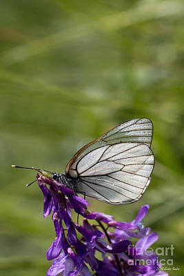 Antique Maps - Black-veined White Butterfly by Jivko Nakev