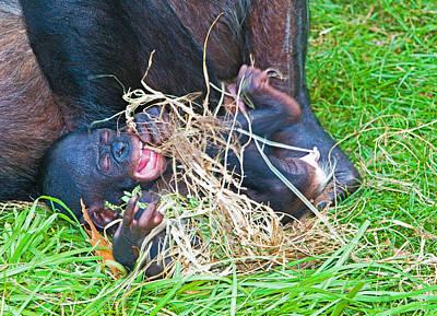 Photograph - Bonobo Baby by Millard H Sharp