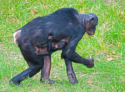 Photograph - Bonobo Mother And Baby by Millard H. Sharp
