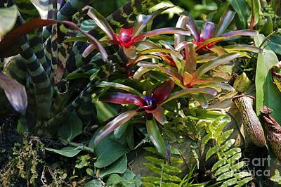 Epiphyte Photograph - Bromeliad Plant by Dr. Keith Wheeler
