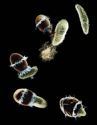 Photograph - Didinium Ingesting Paramecium by Greg Antipa