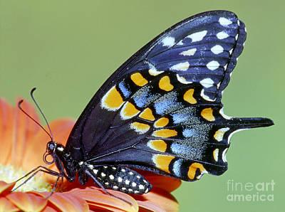 Eastern Black Swallowtail Butterfly Art Print by Millard H. Sharp
