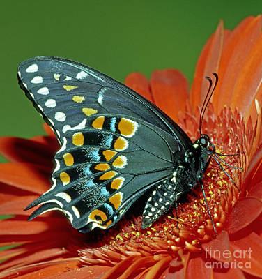 Eastern Black Swallowtail Art Print by Millard H. Sharp