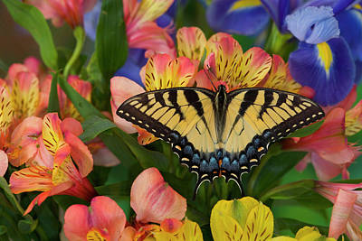 Peruvian Lily Photograph - Eastern Tiger Swallowtail Papilio by Darrell Gulin