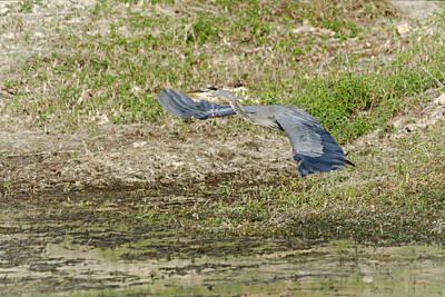 Pineapple - Great Blue Heron In Flight by Roy Williams