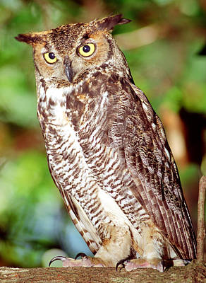 Photograph - Great Horned Owl by Millard H. Sharp
