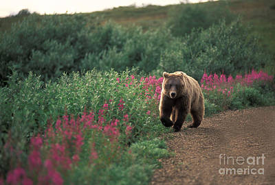 Photograph - Grizzly Bear by Ron Sanford