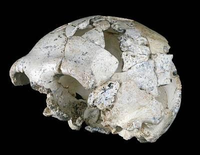 Lineage Photograph - Hominin Skull From Sima De Los Huesos by Javier Trueba/msf
