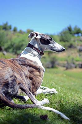 Greyhound Photograph - Hounding Misery The Misfortune by Nano Calvo