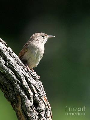 Photograph - House Wren by Jack R Brock