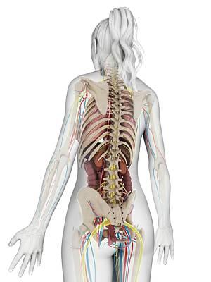 Internal Organs Photograph - Human Anatomy by Sebastian Kaulitzki