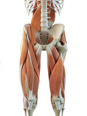 Human Leg Muscles Art Print by Sciepro