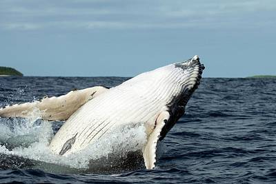 Humpback Whale Art Print by Christopher Swann/science Photo Library