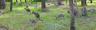 Scenic Photograph - Kangaroo by Girish J