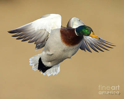 Photograph - Mallard Duck by Steve Javorsky