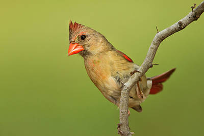 Starr Photograph - Northern Cardinal (cardinalis Cardinalis by Larry Ditto