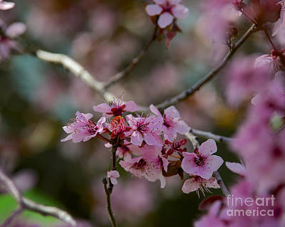 Photograph - Plum Tree Flowers by Mark Dodd