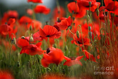 Meadows Photograph - Poppy Dream by Nailia Schwarz