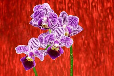 Photograph - Purple Orchid-10 by Rudy Umans