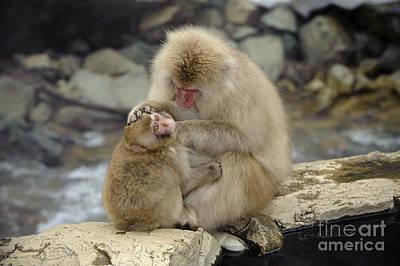 Photograph - Snow Monkeys by John Shaw
