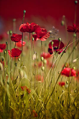 Bright Photograph - Summer Poppy by Nailia Schwarz