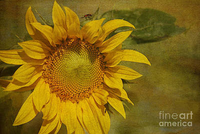 Sunflower Art Print by Cindi Ressler