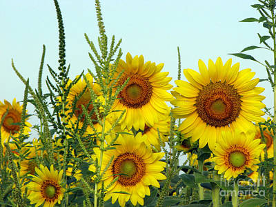 Sunflower Series Art Print by Amanda Barcon