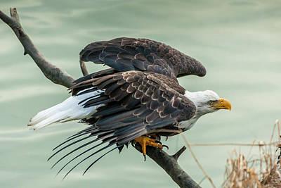 Courage Photograph - Usa, Alaska, Chilkat Bald Eagle Preserve by Jaynes Gallery