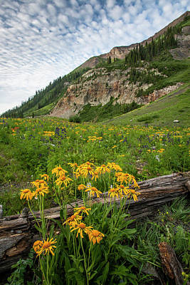 Sneezeweed Photograph - Usa, Colorado, Crested Butte by Jaynes Gallery