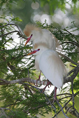 Egret Photograph - Usa, Florida, St by Jaynes Gallery