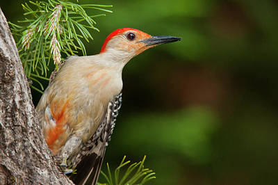 Red Bellied Woodpecker Photograph - Usa, North Carolina by Jaynes Gallery