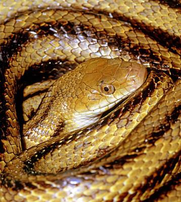 Photograph - Yellow Rat Snake by Millard H. Sharp