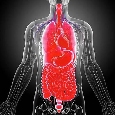 Human Representation Photograph - Human Internal Organs by Pixologicstudio