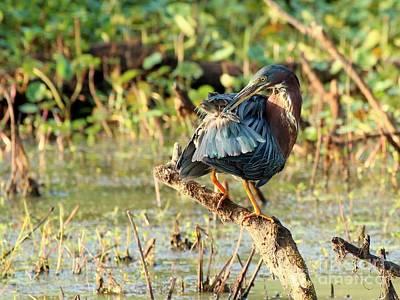 Photograph - Green Heron by Jack R Brock