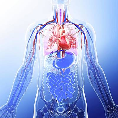 Human Representation Photograph - Human Cardiovascular System by Pixologicstudio