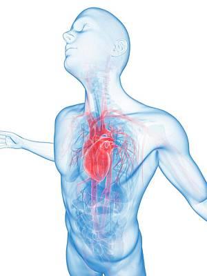 Human Vascular System Art Print by Sebastian Kaulitzki