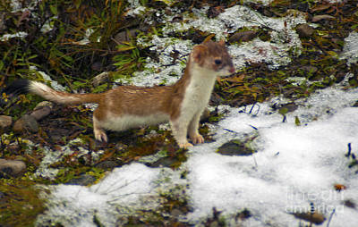 Photograph - 1115p Short Tail Weasel by NightVisions