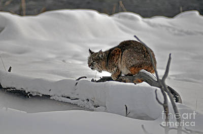 Photograph - 111p Bobcat by NightVisions