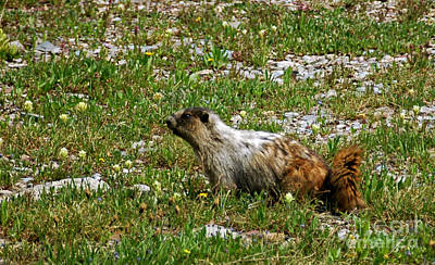 Photograph - 1131p Marmot by NightVisions