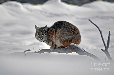 Photograph - 115p Bobcat by NightVisions