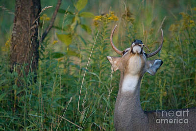 White-tailed Buck Art Print by Linda Freshwaters Arndt