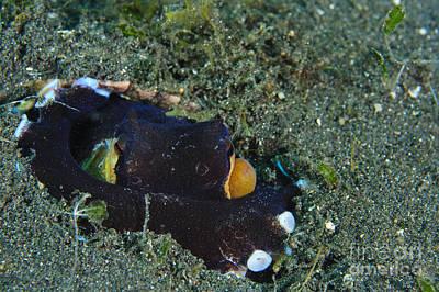 A Coconut Octopus, Lembeh Strait Art Print by Steve Jones