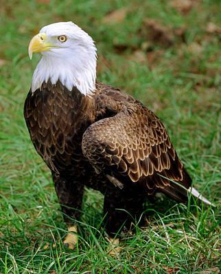 Photograph - American Bald Eagle by Millard H. Sharp