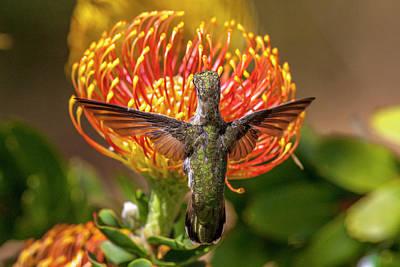 Annas Hummingbird Photograph - Anna's Hummingbird by Tom Norring