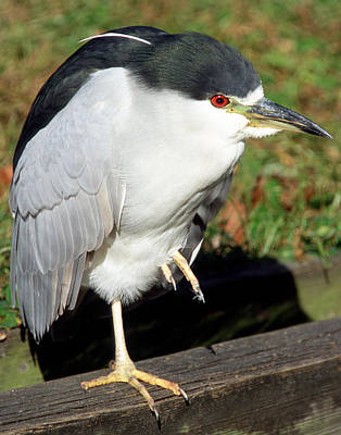 Photograph - Black-crowned Night-heron by Millard H. Sharp